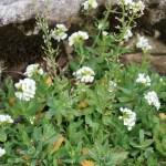 シヴェレキアポドリカ 花の咲いている様子