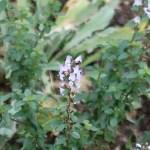 シレネムルチカウリス 花の咲いている様子