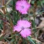 Carthusian Pink/ ホソバナデシコ