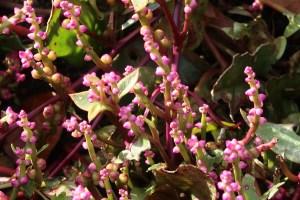 ツルムラサキ 花の咲いている様子