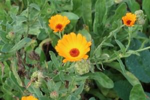 キンセンカ 花の様子