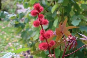 トウゴマ 花と実の様子