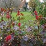 トウゴマ 花と実の咲いている様子