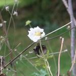 Snowdrop anemone/ バイカイチゲ