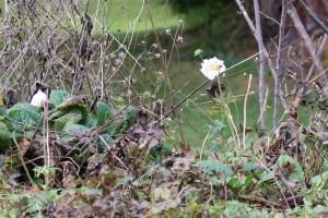 バイカイチゲ 花の咲いている様子 晩秋