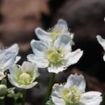 イズノシマウメバチソウ 花の様子