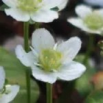 Marsh grass of Parnassus/ ウメバチソウ