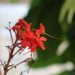 ヒギリ 花の様子