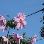ダリア コウテイダリア 花の咲いている様子