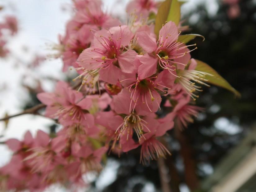 Cherry, Wild Himalayan cherry ヒマラヤザクラ