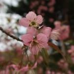 ヒマラヤザクラ 花の姿