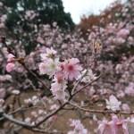 ジュウガツザクラ 花の咲いている様子