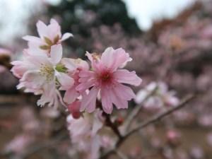 Cherry, October sakura/ ジュウガツザクラ