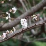 コブクザクラ 花の咲いている姿