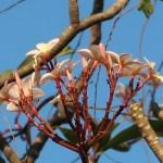 プルメリア 花の姿 (ピンク花)