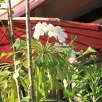 プルメリア プディカ 花の咲いている様子