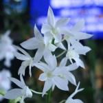 デンドロビウム Den. White Grace