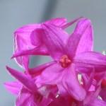 デンドロビウム Den. glomeratum