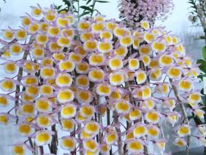 デンドロビウム Den. polyanthum