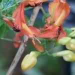 ルッティアフルティコサ 花の姿
