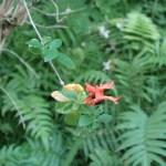 ルッティアフルティコサ 花の咲いている様子