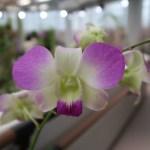 デンファレ Den. Phalaenopsis Sakura