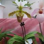 パフィオペディルム Paph. villosum Pfitz cv. Leeanum