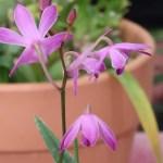 デンドロビウム Den. kinngianum