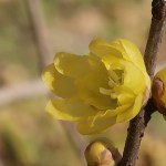 ソシンロウバイ 花の姿 アップ