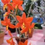 プロステケア Psh. vitellina