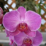 Phalaenopsis コチョウラン Phal. Memoria Anne Fajen