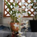 Jewel orchid/ ホンコンシュスラン
