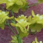 オンシジューム Onc. cheirophorum