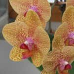 コチョウラン Phal. Tsuei You Beauty Matou