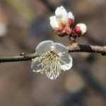 ウメ 花の姿 品種 一重野梅