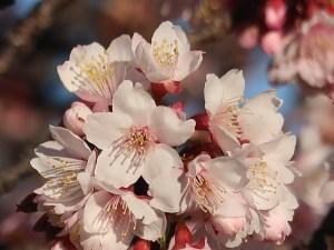 アタミザクラ 花の姿 アップ