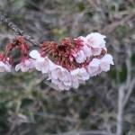 アタミザクラ 花の様子