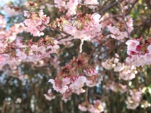 アタミザクラ 花の咲いている様子