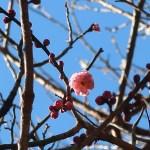 ウメ 花の咲いている様子 品種 御所紅