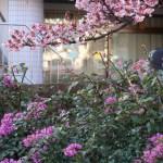 アタミザクラ 桜とブーゲンビリア
