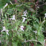 センシンレン 花の咲いている様子