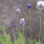 Lavandula pinnata/ レースラベンダー 花の様子
