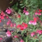 オータムセージ 花の様子