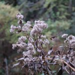 フジバカマ 枯れた花