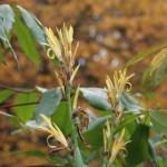 ダンドク 花の様子 黄花