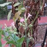 Tobacco/ タバコ 花の咲いている様子