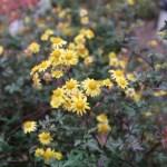 Indian chrysanthemum/ シマカンギク 花の様子