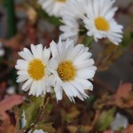 Florist's daisy/ キク 杭菊 薬用品種 花の姿