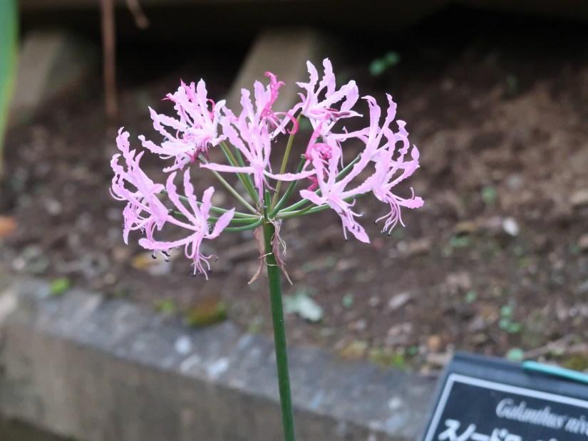 Nerine undulata/ ヒメヒガンバナ