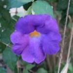 Thunbergia vogeliana/ ツンベルギア フォーゲリアナ 花の姿
